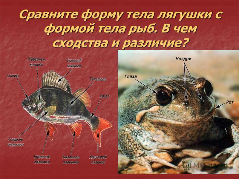 Сравните форму тела лягушки с формой тела рыб. В чем сходства и различие?