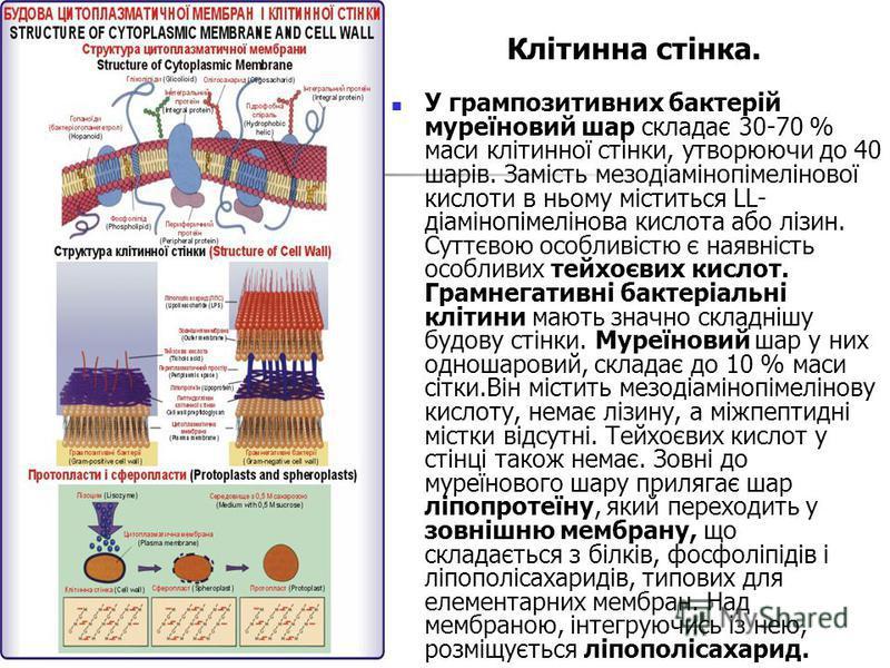 Клітинна стінка. У грампозитивних бактерій муреїновий шар складає 30-70 % маси клітинної стінки, утворюючи до 40 шарів. Замість мезодіамінопімелінової кислоти в ньому міститься LL- діамінопімелінова кислота або лізин. Суттєвою особливістю є наявність