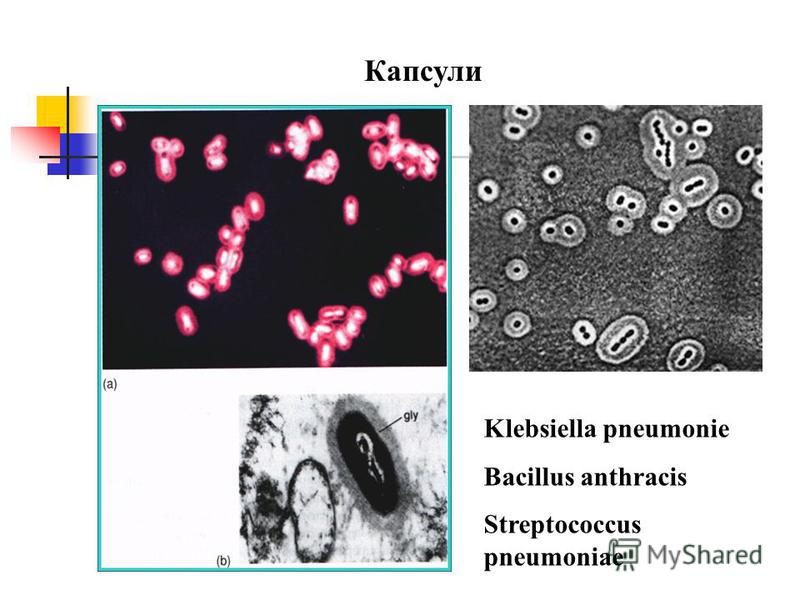 Капсули Klebsiella pneumonie Bacillus anthracis Streptococcus pneumoniae