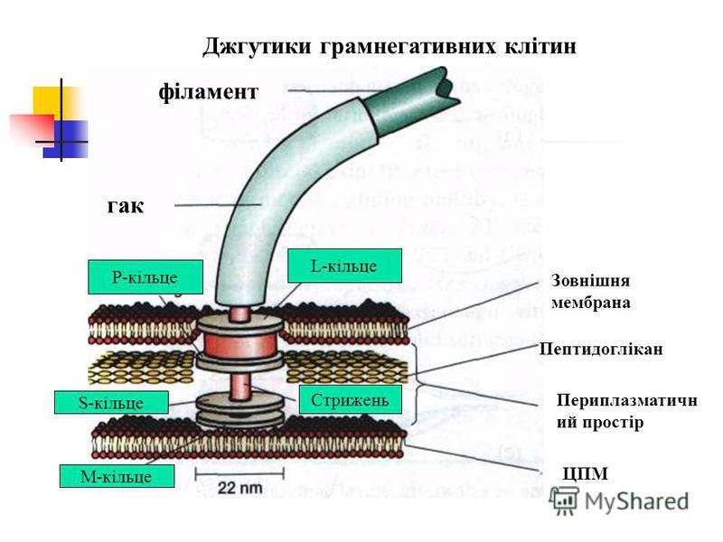 філамент гак L-кільце P-кільце S-кільце M-кільце ЦПМ Периплазматичн ий простір Пептидоглікан Зовнішня мембрана Джгутики грамнегативних клітин Стрижень