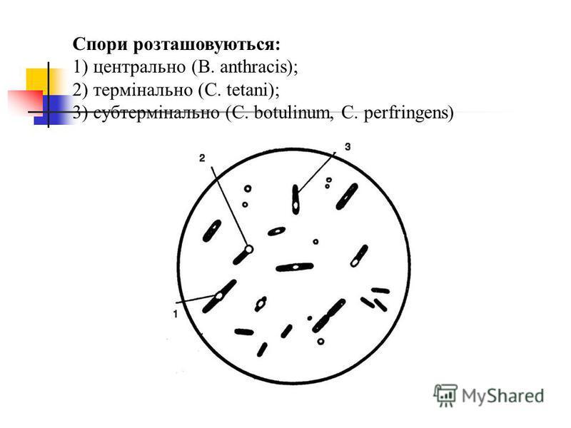 Спори розташовуються: 1) центрально (B. anthracis); 2) термінально (С. tetani); 3) cубтермінально (C. botulinum, C. perfringens)