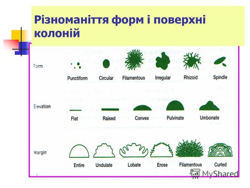 Різноманіття форм і поверхні колоній