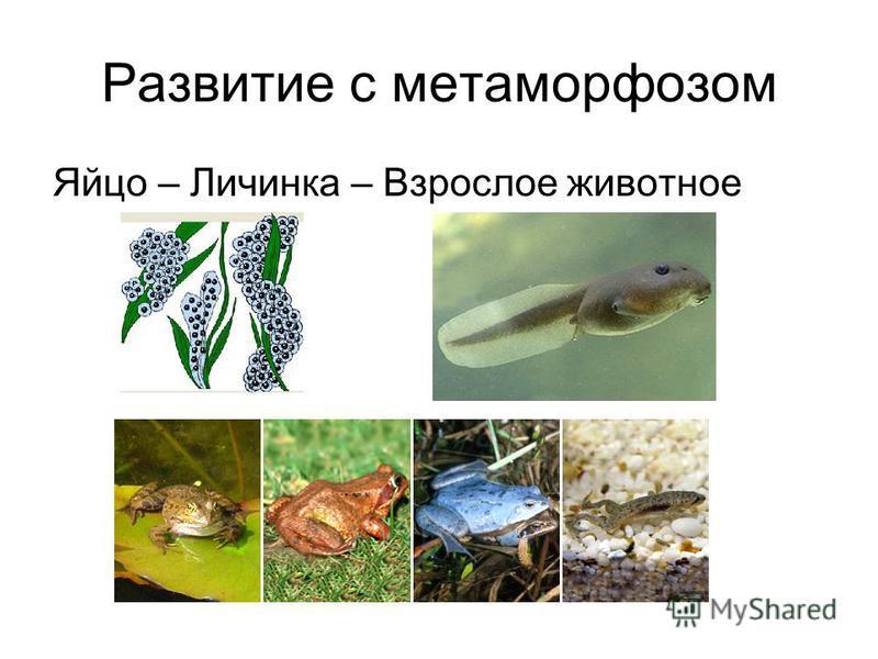 Развитие с метаморфозом Яйцо – Личинка – Взрослое животное