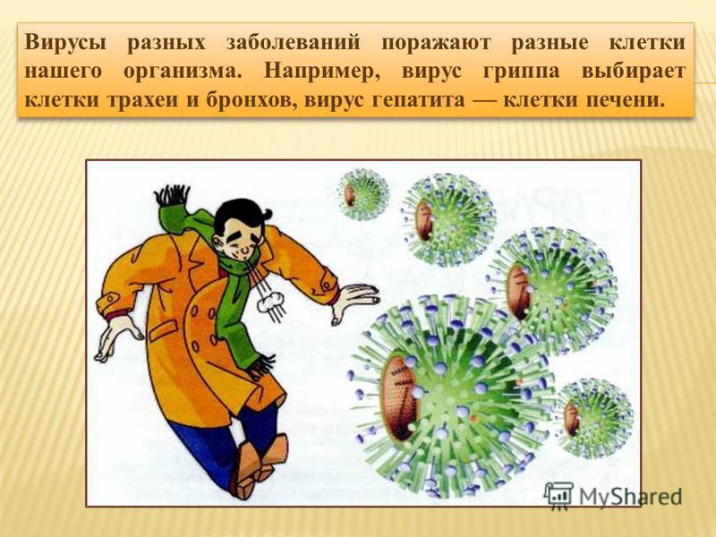 Вирусы разных заболеваний поражают разные клетки нашего организма. Например, вирус гриппа выбирает клетки трахеи и бронхов, вирус гепатита клетки печени.