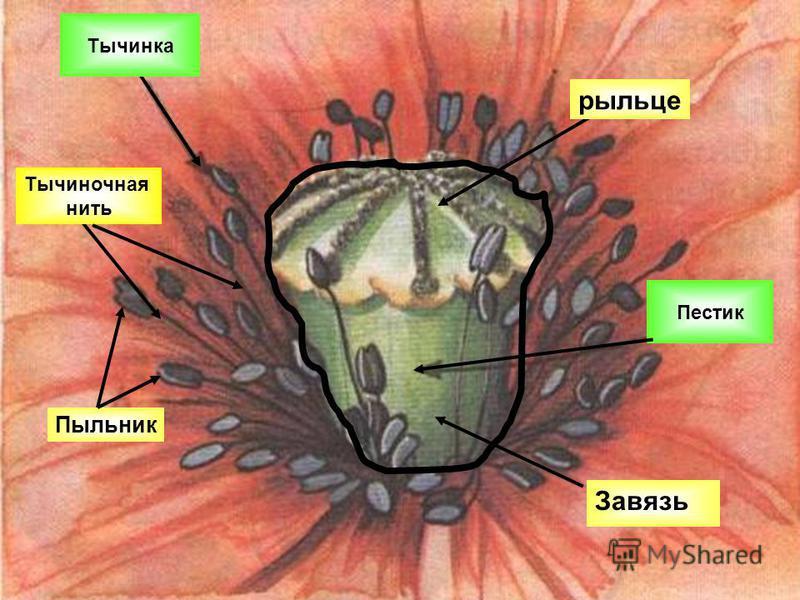Пыльник Тычиночная нить рыльце Тычинка Пестик Завязь
