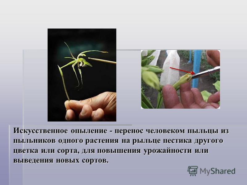 Искусственное опыление - перенос человеком пыльцы из пыльников одного растения на рыльце пестика другого цветка или сорта, для повышения урожайности или выведения новых сортов.