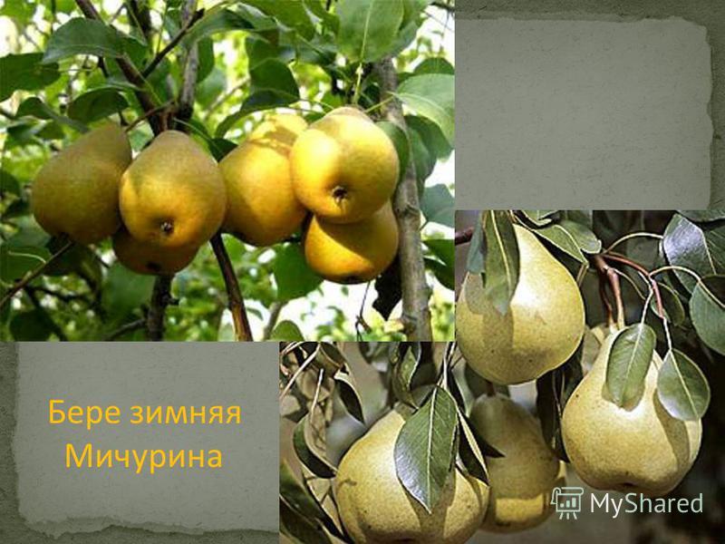 Бере зимняя Мичурина