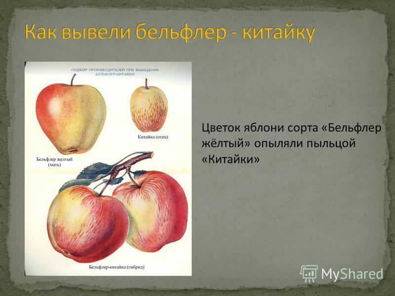 Цветок яблони сорта «Бельфлер жёлтый» опыляли пыльцой «Китайки»