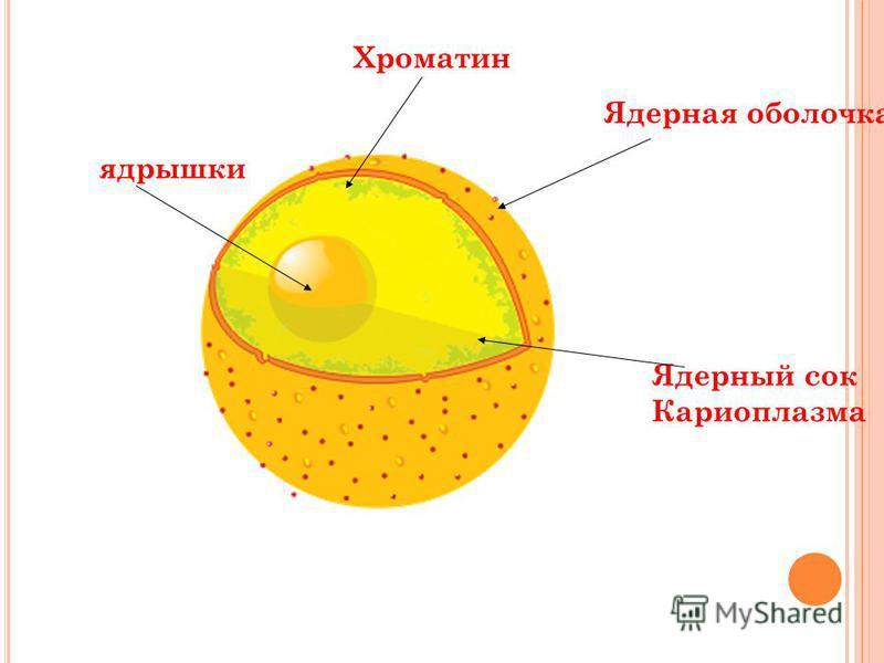Ядерная оболочка Ядерный сок Кариоплазма Хроматин ядрышки