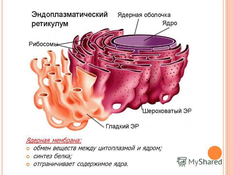 Ядерная мембрана: обмен веществ между цитоплазмой и ядром; синтез белка; отграничивает содержимое ядра.