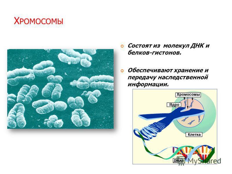 Х РОМОСОМЫ Состоят из молекул ДНК и белков-гистонов. Обеспечивают хранение и передачу наследственной информации.