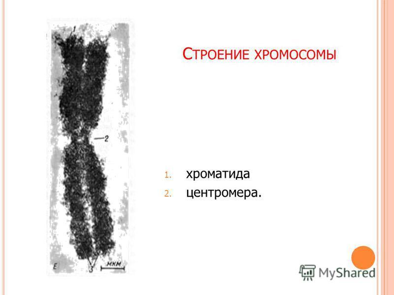 Хроматида