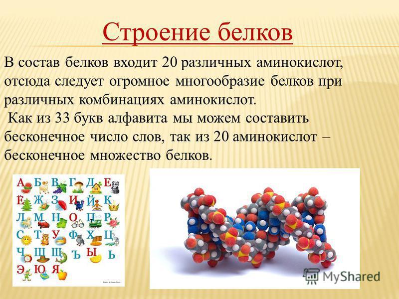 Строение белков В состав белков входит 20 различных аминокислот, отсюда следует огромное многообразие белков при различных комбинациях аминокислот. Как из 33 букв алфавита мы можем составить бесконечное число слов, так из 20 аминокислот – бесконечное