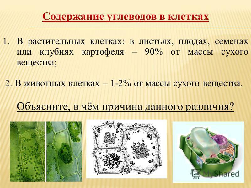Содержание углеводов в клетках 1. В растительных клетках: в листьях, плодах, семенах или клубнях картофеля – 90% от массы сухого вещества; 2. В животных клетках – 1-2% от массы сухого вещества. Объясните, в чём причина данного различия?