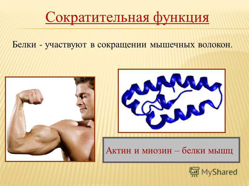 Сократительная функция Белки - участвуют в сокращении мышечных волокон. Актин и миозин – белки мышц