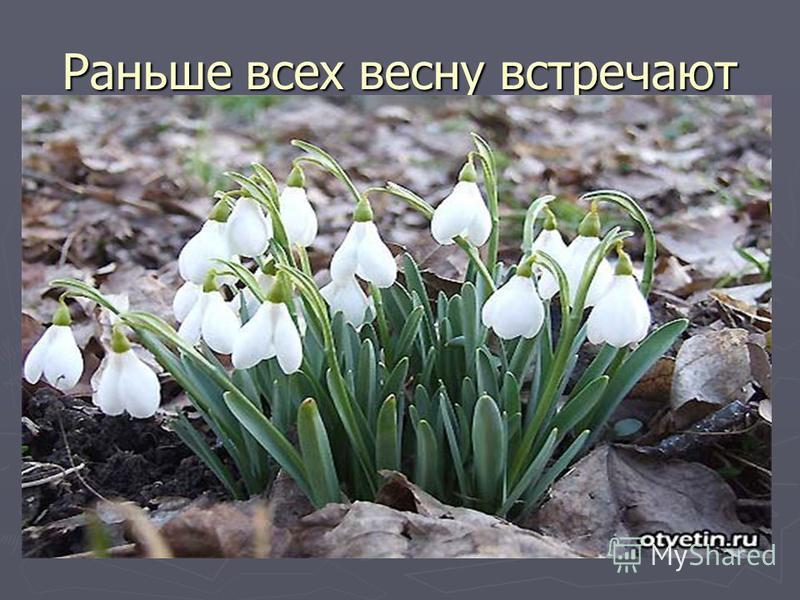 Раньше всех весну встречают