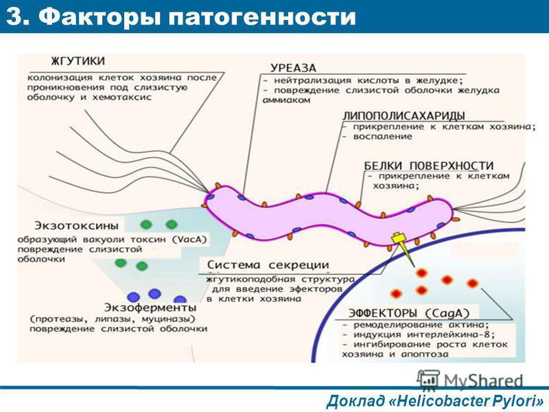 3. Факторы патогенности Доклад «Helicobacter Pylori»