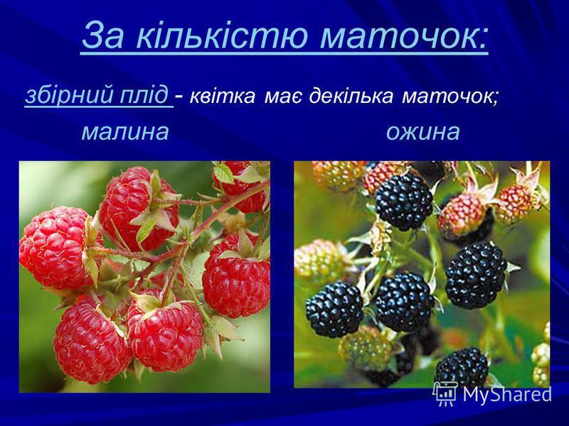 За кількістю маточок: збірний плід - квітка має декілька маточок; малина ожина