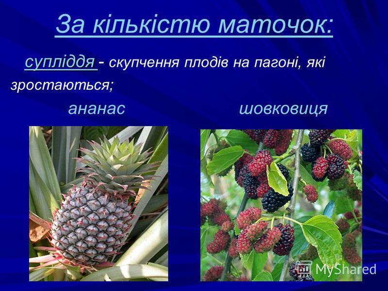За кількістю маточок: супліддя супліддя - скупчення плодів на пагоні, які зростаються; ананас шовковиця