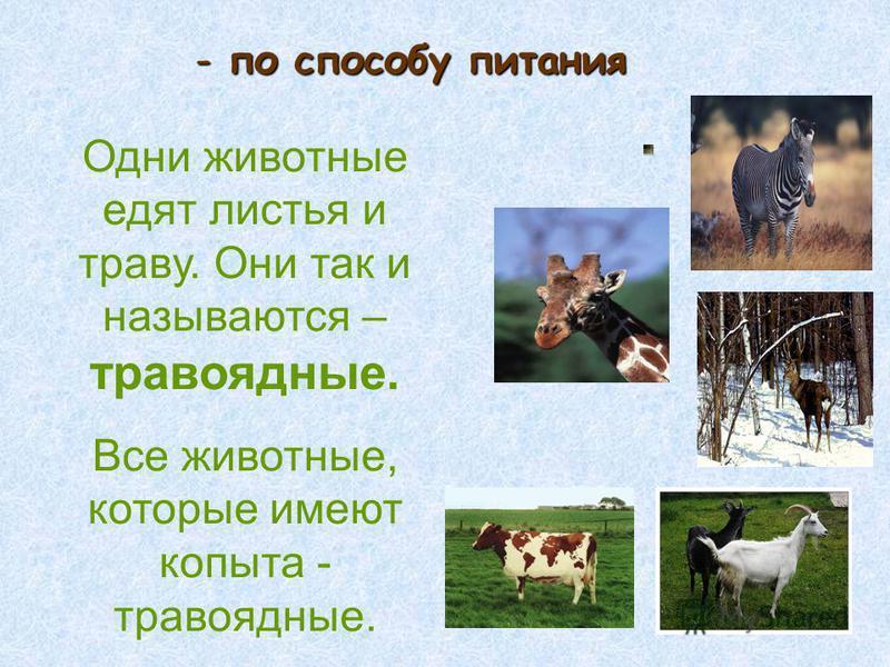 -п-п-п-по способу питания Одни животные едят листья и траву. Они так и называются – травоядные. Все животные, которые имеют копыта - травоядные.
