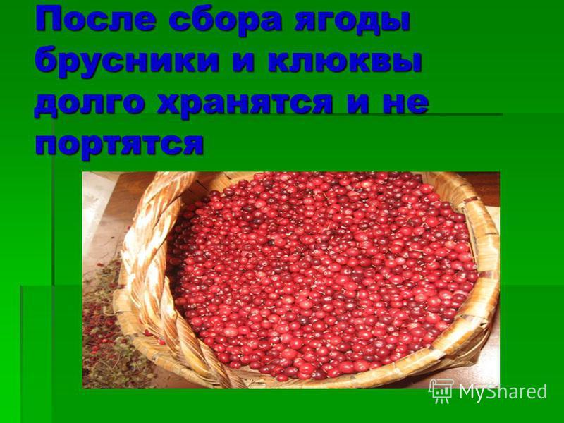 После сбора ягоды брусники и клюквы долго хранятся и не портятся