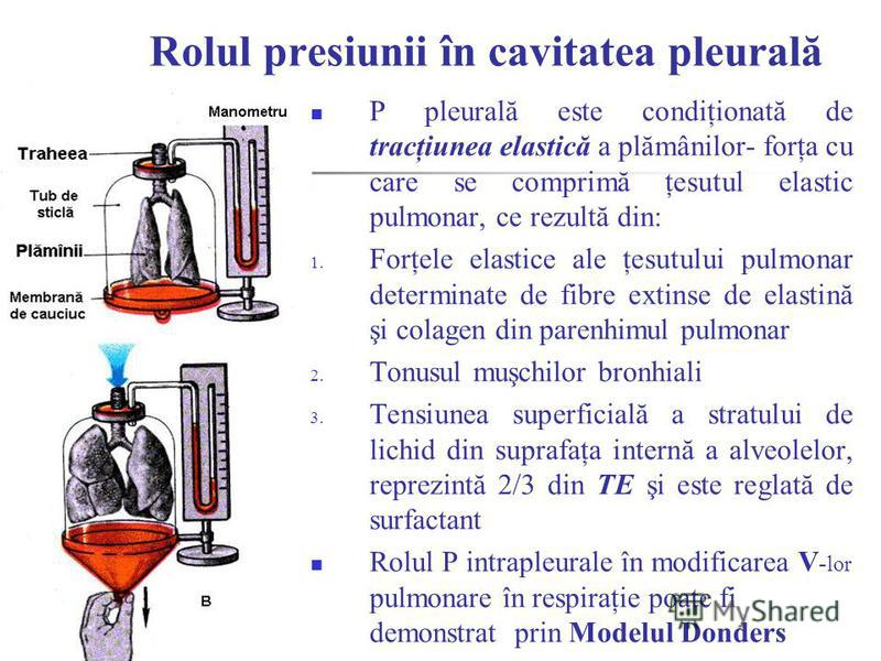Rolul presiunii în cavitatea pleurală P pleurală este condiţionată de tracţiunea elastică a plămânilor- forţa cu care se comprimă ţesutul elastic pulmonar, ce rezultă din: 1. Forţele elastice ale ţesutului pulmonar determinate de fibre extinse de ela