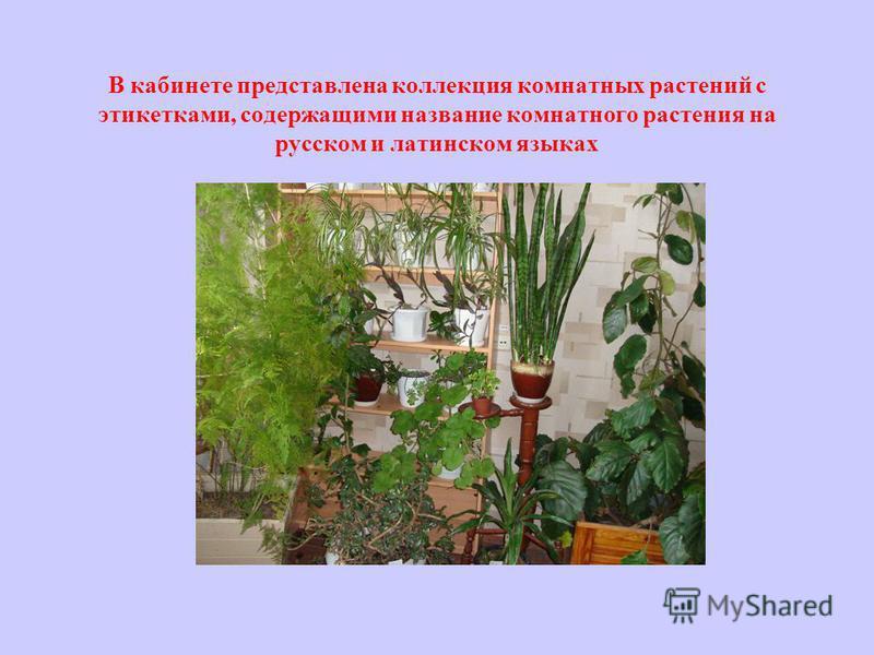 В кабинете представлена коллекция комнатных растений с этикетками, содержащими название комнатного растения на русском и латинском языках