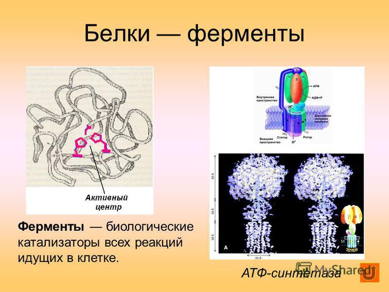 Белки ферменты АТФ-синтетаза Ферменты биологические катализаторы всех реакций идущих в клетке.