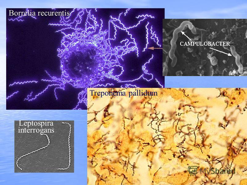 Borrelia recurentis Treponema pallidum Leptospira interrogans