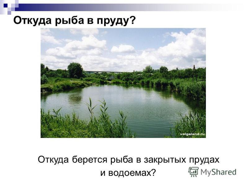 Откуда берется рыба в закрытых прудах и водоемах? Откуда рыба в пруду?