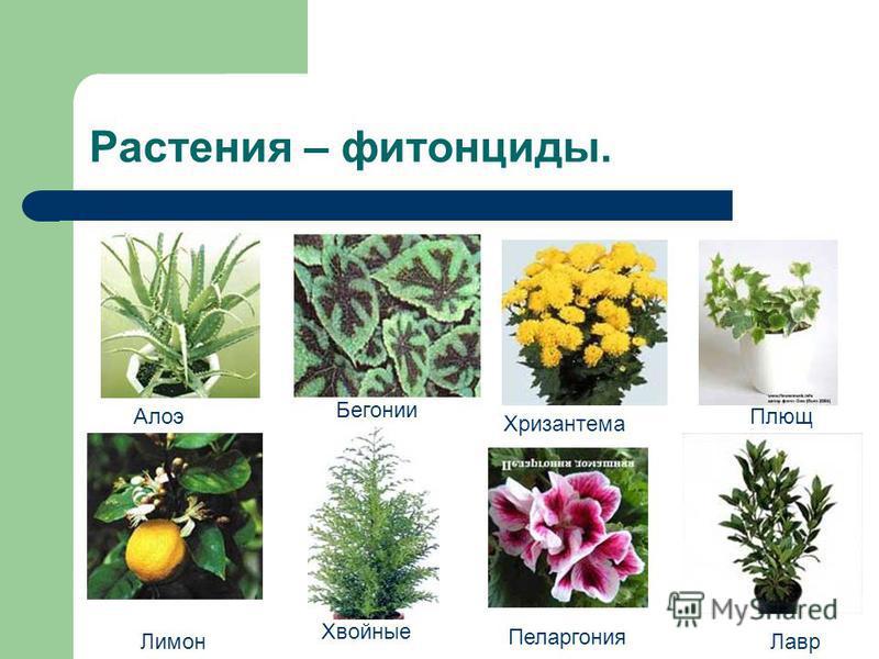 Растения – фитонциды. Алоэ Бегонии Хризантема Плющ Лавр Пеларгония Хвойные Лимон