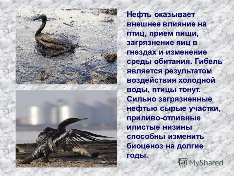 Нефть оказывает внешнее влияние на птиц, прием пищи, загрязнение яиц в гнездах и изменение среды обитания. Гибель является результатом воздействия холодной воды, птицы тонут. Сильно загрязненные нефтью сырые участки, приливо-отливные илистые низины с