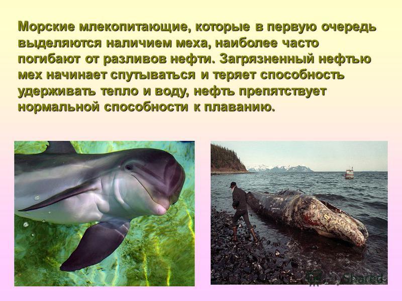 Морские млекопитающие, которые в первую очередь выделяются наличием меха, наиболее часто погибают от разливов нефти. Загрязненный нефтью мех начинает спутываться и теряет способность удерживать тепло и воду, нефть препятствует нормальной способности