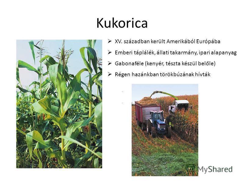 Kukorica XV. században került Amerikából Európába Emberi táplálék, állati takarmány, ipari alapanyag Gabonaféle (kenyér, tészta készül belőle) Régen hazánkban törökbúzának hívták