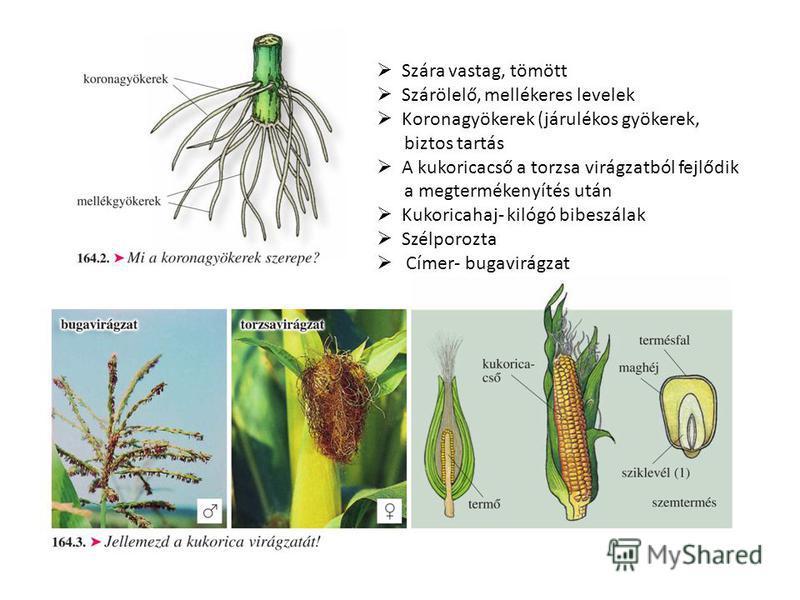 Szára vastag, tömött Szárölelő, mellékeres levelek Koronagyökerek (járulékos gyökerek, biztos tartás A kukoricacső a torzsa virágzatból fejlődik a megtermékenyítés után Kukoricahaj- kilógó bibeszálak Szélporozta Címer- bugavirágzat