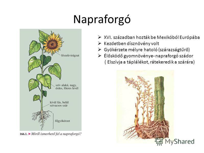 Napraforgó XVI. században hozták be Mexikóból Európába Kezdetben dísznövény volt Gyökérzete mélyre hatoló (szárazságtűrő) Élősködő gyomnövénye- napraforgó szádor ( Elszívja a táplálékot, rátekeredik a szárára)