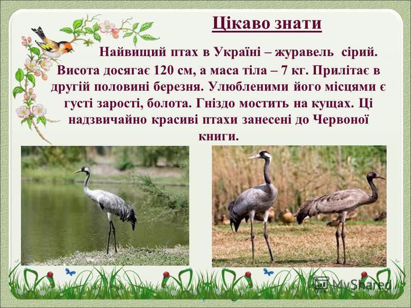 Цікаво знати Найвищий птах в Україні – журавель сірий. Висота досягає 120 см, а маса тіла – 7 кг. Прилітає в другій половині березня. Улюбленими його місцями є густі зарості, болота. Гніздо мостить на кущах. Ці надзвичайно красиві птахи занесені до Ч