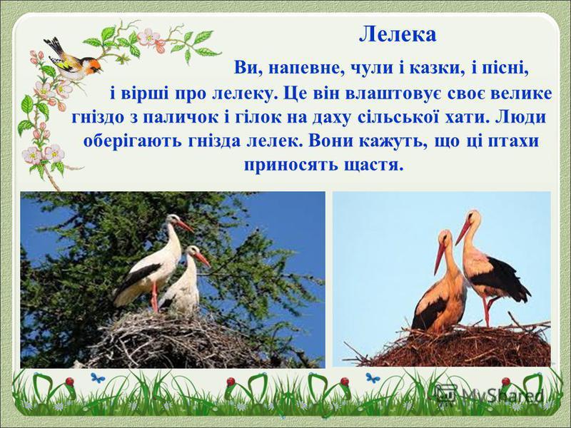 Лелека Ви, напевне, чули і казки, і пісні, і вірші про лелеку. Це він влаштовує своє велике гніздо з паличок і гілок на даху сільської хати. Люди оберігають гнізда лелек. Вони кажуть, що ці птахи приносять щастя.