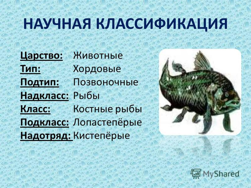 Царство: Животные Тип: Хордовые Подтип: Позвоночные Надкласс: Рыбы Класс: Костные рыбы Подкласс: Лопастепёрые Надотряд: Кистепёрые НАУЧНАЯ КЛАССИФИКАЦИЯ