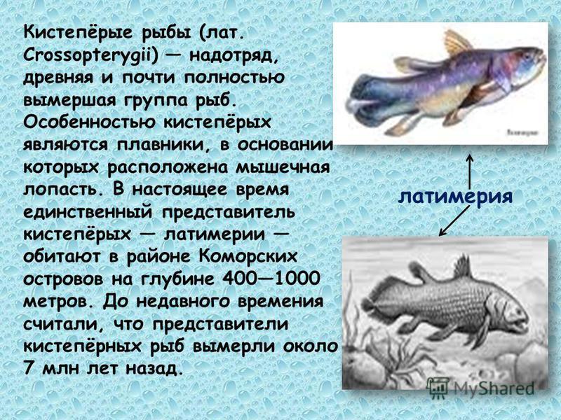 Кистепёрые рыбы (лат. Crossopterygii) надотряд, древняя и почти полностью вымершая группа рыб. Особенностью кистепёрых являются плавники, в основании которых расположена мышечная лопасть. В настоящее время единственный представитель кистепёрых латиме