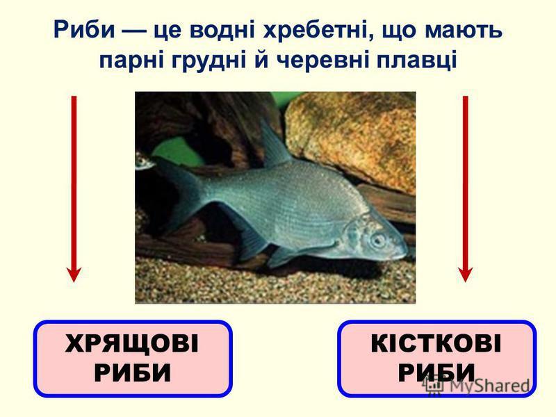 Риби це водні хребетні, що мають парні грудні й черевні плавці ХРЯЩОВІ РИБИ КІСТКОВІ РИБИ