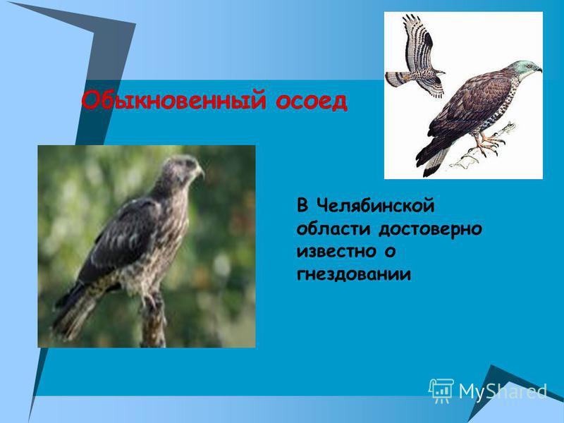 Обыкновенный осоед В Челябинской области достоверно известно о гнездовании.