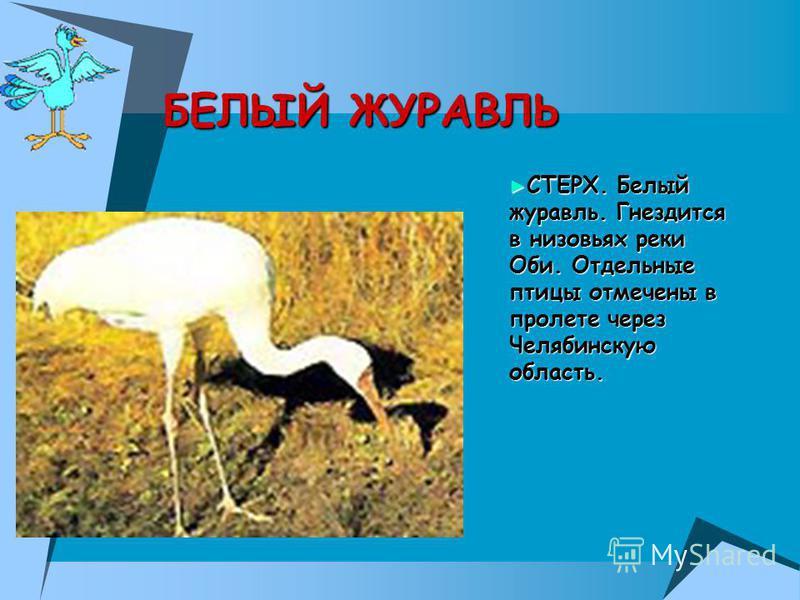 СТЕРХ. Белый журавль. Гнездится в низовьях реки Оби. Отдельные птицы отмечены в пролете через Челябинскую область. СТЕРХ. Белый журавль. Гнездится в низовьях реки Оби. Отдельные птицы отмечены в пролете через Челябинскую область. БЕЛЫЙ ЖУРАВЛЬ