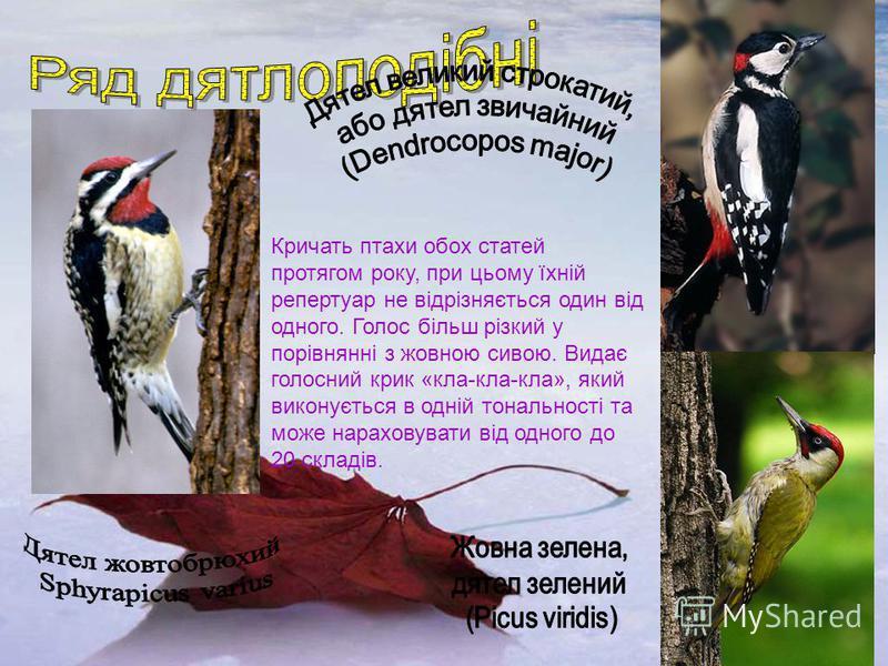 Кричать птахи обох статей протягом року, при цьому їхній репертуар не відрізняється один від одного. Голос більш різкий у порівнянні з жовною сивою. Видає голосний крик «кла-кла-кла», який виконується в одній тональності та може нараховувати від одно