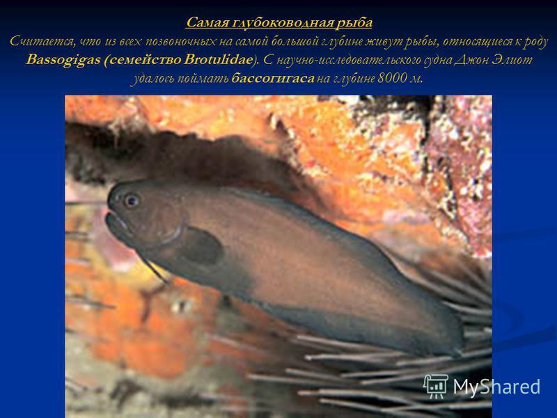 Самая глубоководная рыба Считается, что из всех позвоночных на самой большой глубине живут рыбы, относящиеся к роду Bassogigas (семейство Brotulidae). С научно-исследовательского судна Джон Элиот удалось поймать бассогигаса на глубине 8000 м.