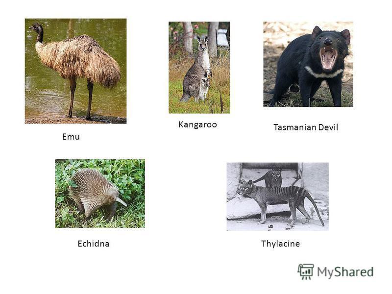 Emu Echidna Kangaroo Tasmanian Devil Thylacine