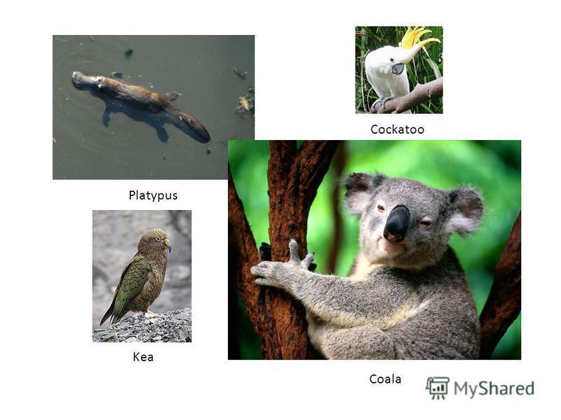 Platypus Coala Cockatoo Kea