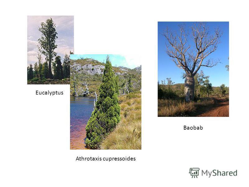 Eucalyptus Athrotaxis cupressoides Baobab