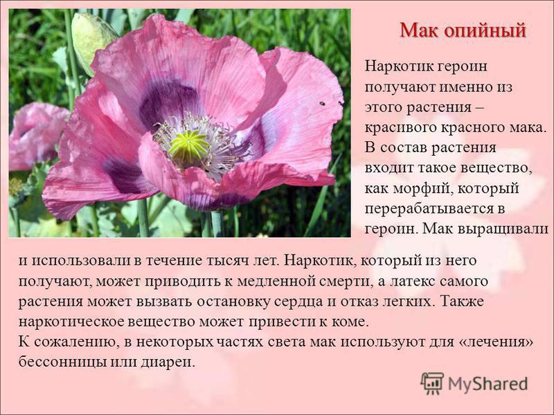 Мак опийный Наркотик героин получают именно из этого растения – красивого красного мака. В состав растения входит такое вещество, как морфий, который перерабатывается в героин. Мак выращивали и использовали в течение тысяч лет. Наркотик, который из н
