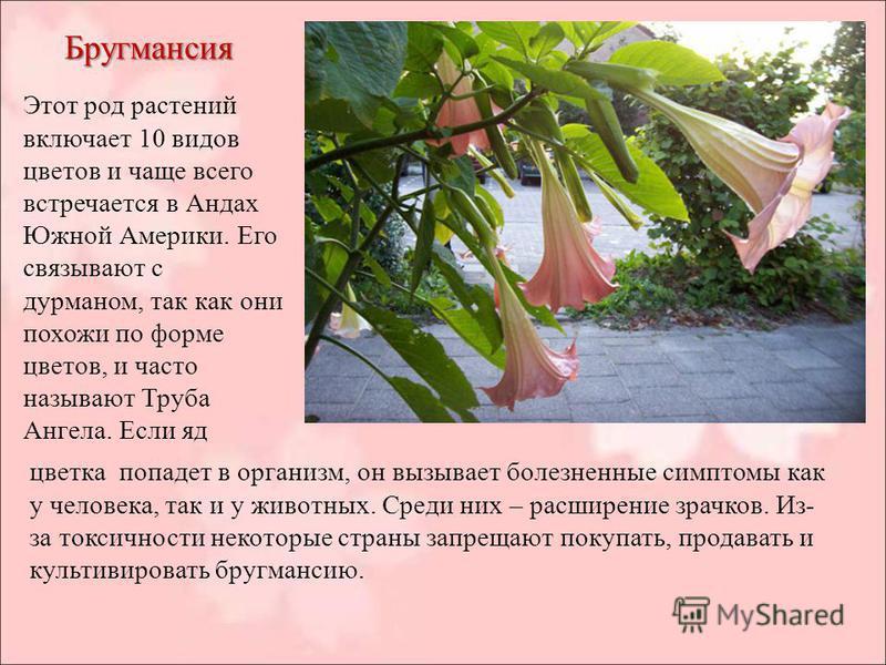 Бругмансия Этот род растений включает 10 видов цветов и чаще всего встречается в Андах Южной Америки. Его связывают с дурманом, так как они похожи по форме цветов, и часто называют Труба Ангела. Если яд цветка попадет в организм, он вызывает болезнен